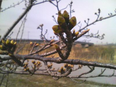 加治川堤防の桜20080323-01