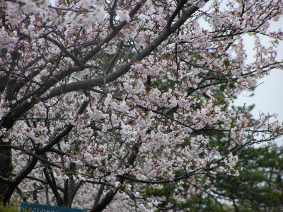 燕市大河津分水の桜1