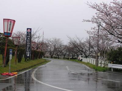 燕市大河津分水の桜2