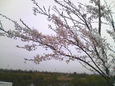 加治川堤防の桜 0413-02