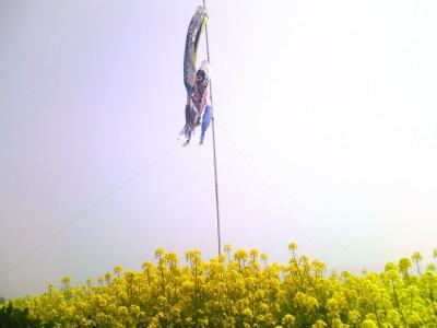 福島潟の菜の花とこいのぼり