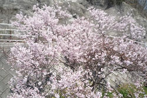 0410お花見 007