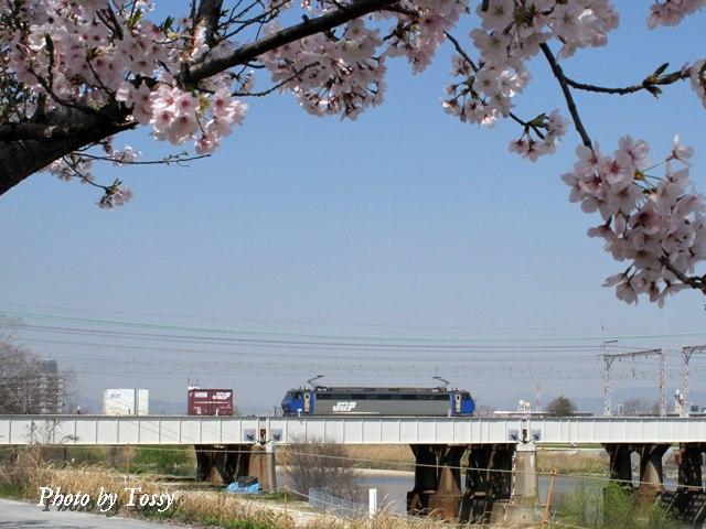 武庫川と桜