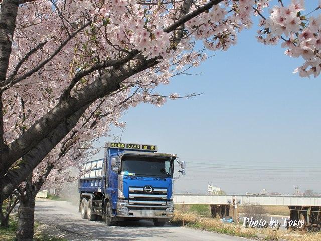 桜の下のダンプカー
