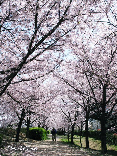 桜つづみ回廊2