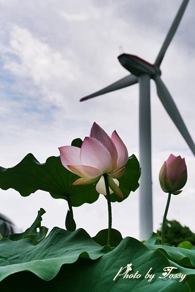 風車とハス
