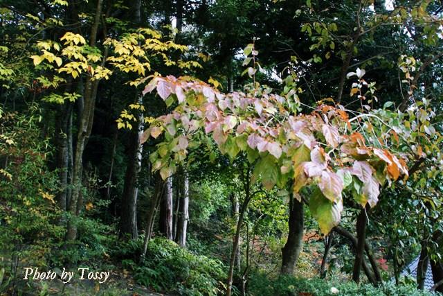 雑木の黄葉