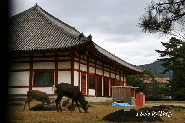 興福寺 鹿