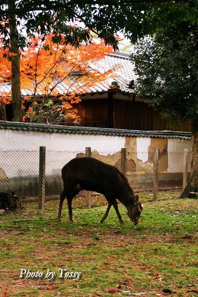 草を食む鹿