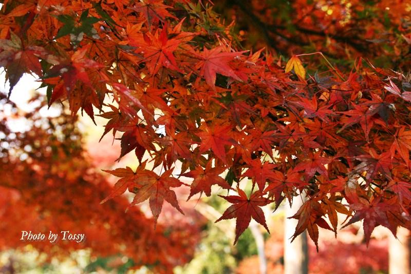 吉田神社の紅葉