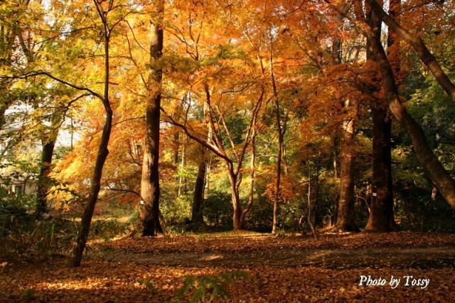 京大植物園の紅葉1
