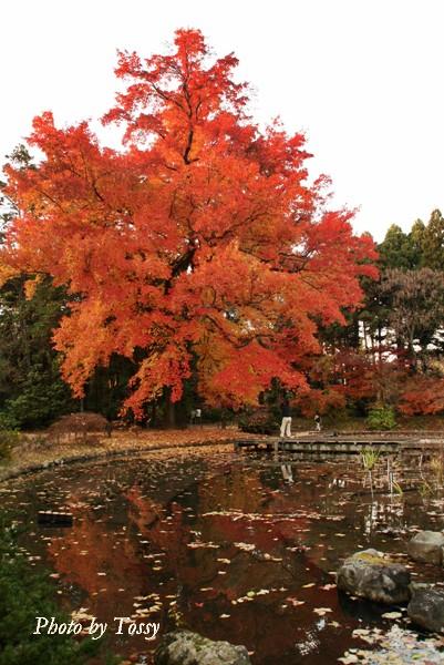 府立植物園のフウの巨木