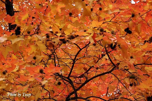 フウ 紅葉と実