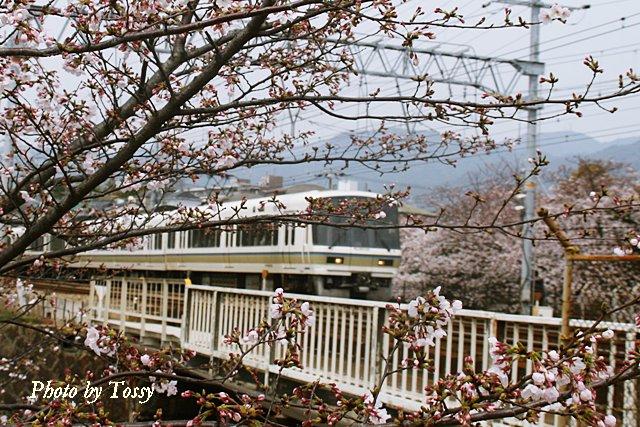 JRと夙川の桜