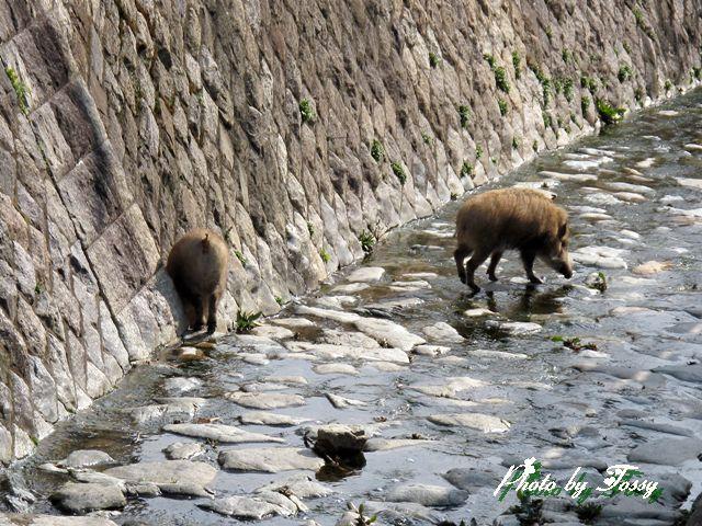 川を歩くいのしし