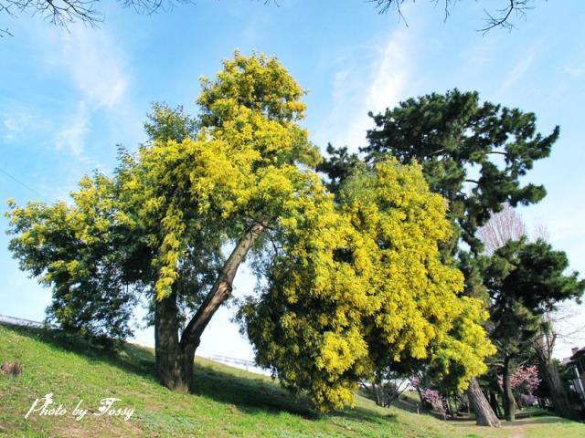 ミモザの大木