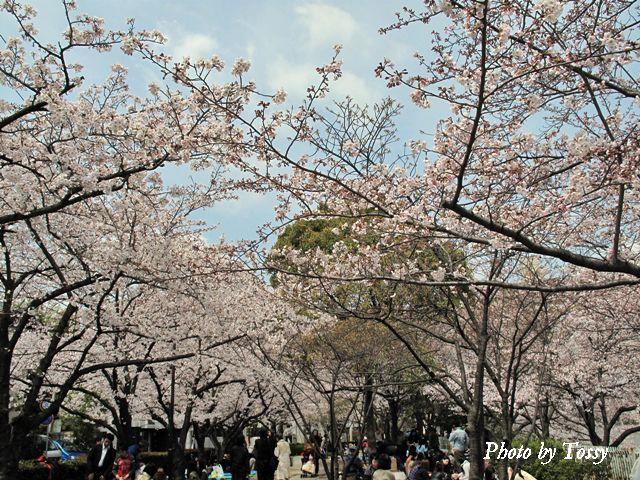 片鉾池の桜