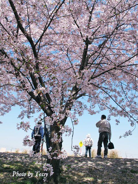 桜とガードマン