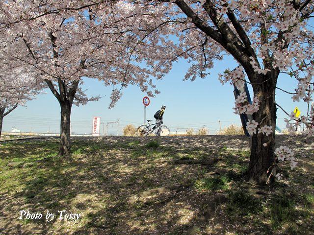 堤防の桜と自転車1