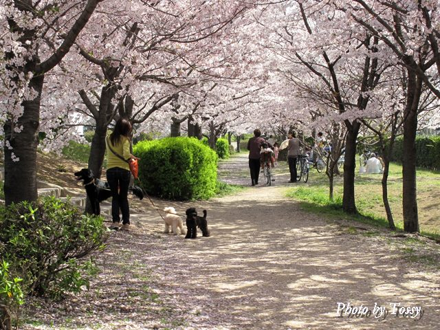 桜つづみ回廊