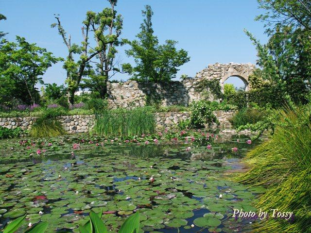 池のスイレン1