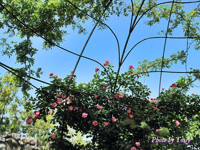 バラのドーム