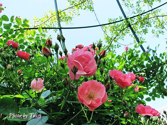 ピンクのバラのドーム