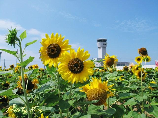 神戸空港のひまわり1
