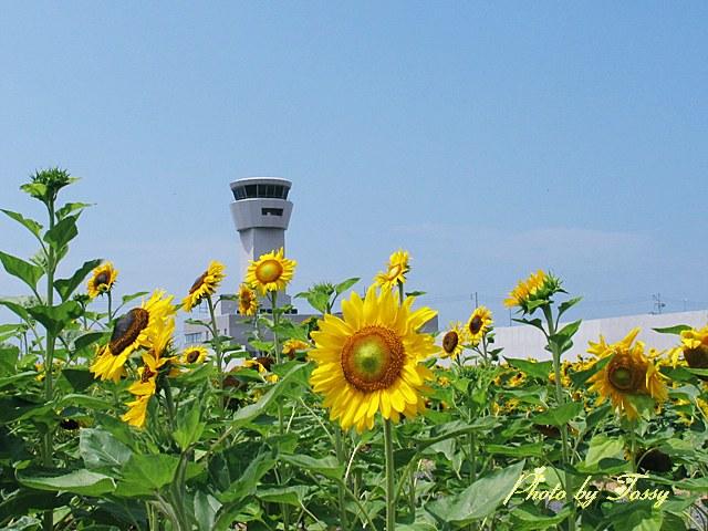 神戸空港のひまわり5