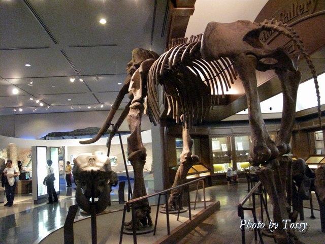 ゾウの骨格