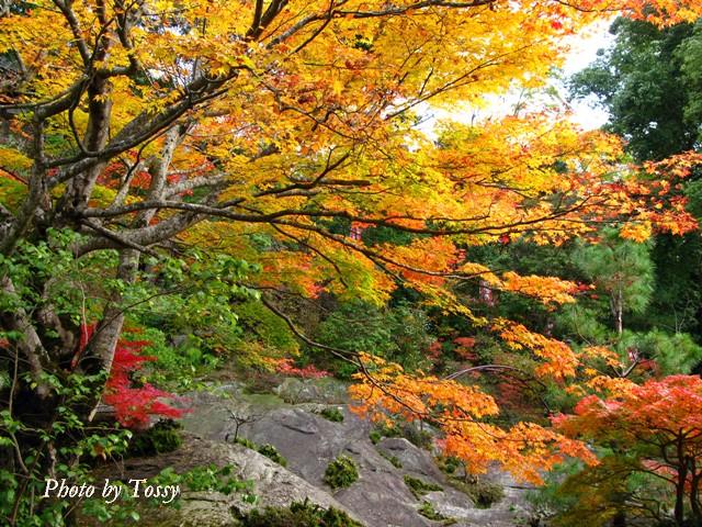 紅葉の大木