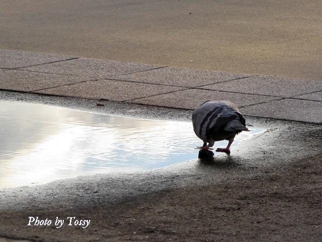 水を飲む鳩