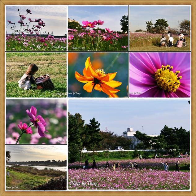 武庫川コスモス園2008