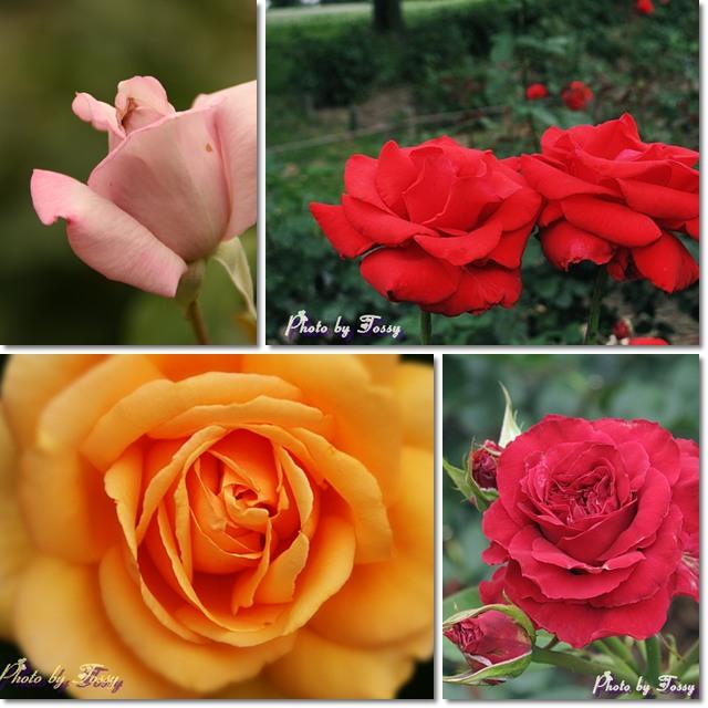 田能のバラ