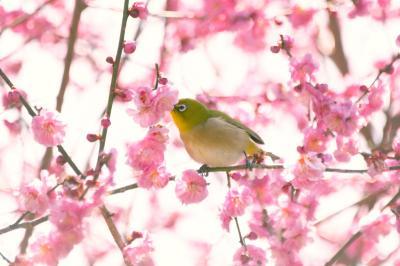 梅に鶯400