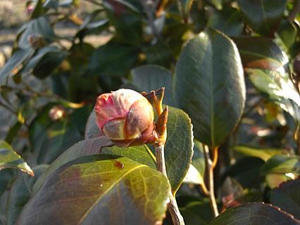 庭の椿 つぼみ