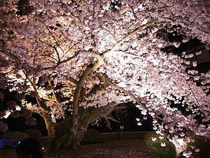弘前公園 ライトアップされた桜