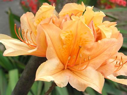 天王神社 つつじまつり オレンジ色のつつじ