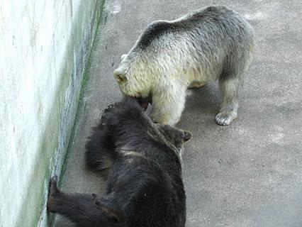 芦野公園 じゃれ合うヒグマ