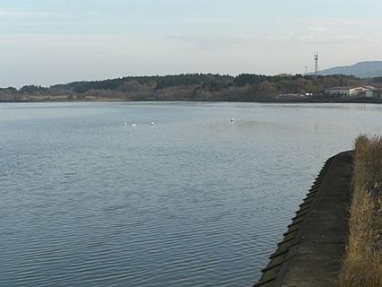 平内町 浅所海岸の手前の橋から見えた白鳥1