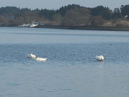 平内町 浅所海岸の手前の橋から見えた白鳥2