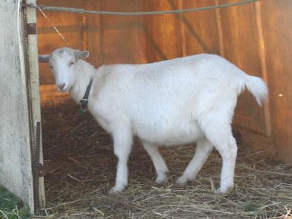 ミルク工房 ボン・サーブ 前庭 羊