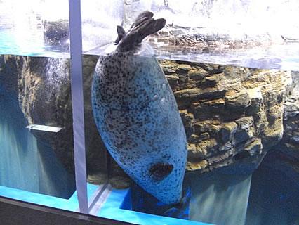 浅虫水族館 ゴマフアザラシ