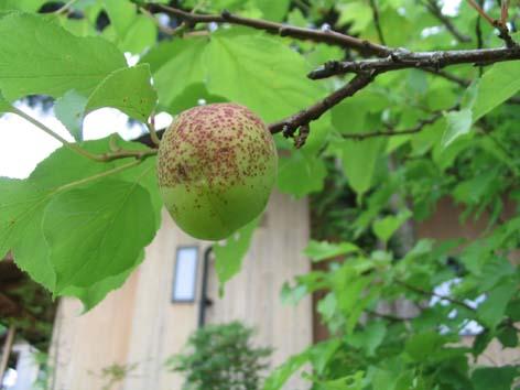 H020622 杏