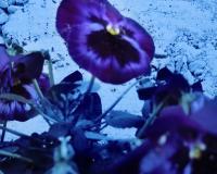 青い花のコピー