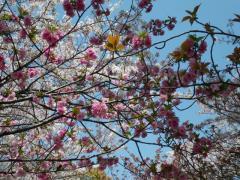 090411 花見ポタ