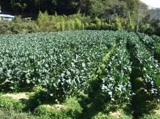 茎ブロッコリー