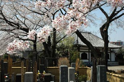 満開の桜本堂