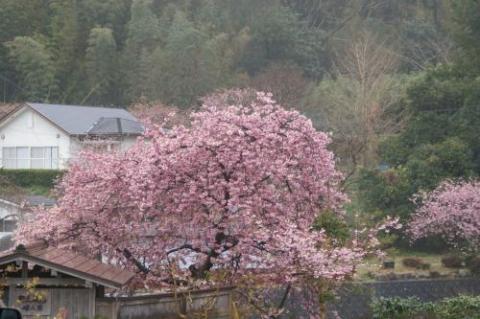 _20080310kawadu sakura