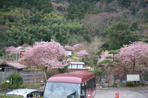 20090301kawadusakura002.jpg